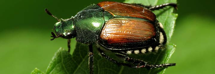 Japanese Beetle Soil Movement Restrictions