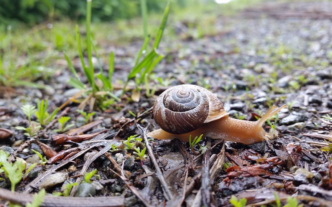 At a Snail's Pace | Considerations for the Oregon Forestsnail during Development